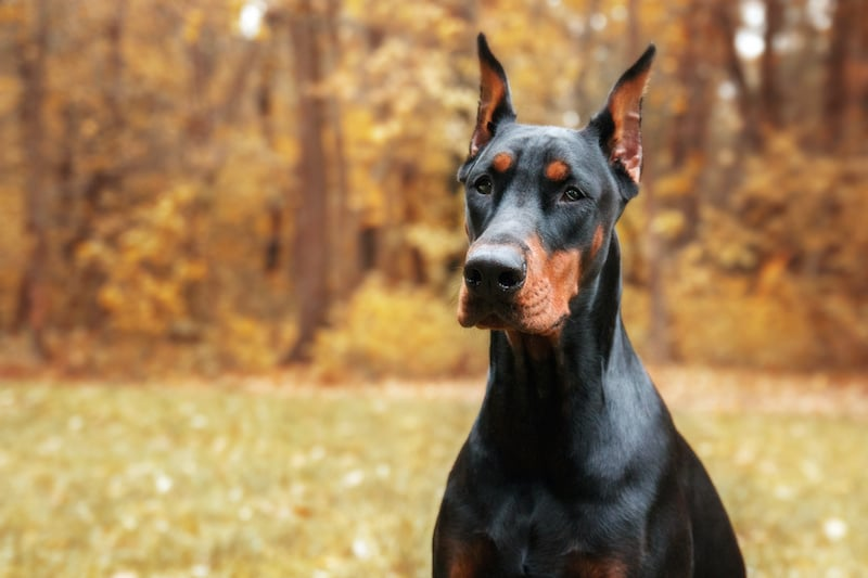 Doberman Pinscher on the background of autumn trees.
