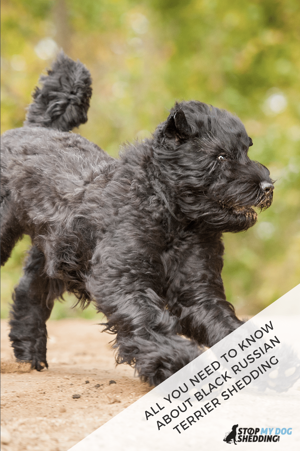 Do Black Russian Terriers Shed? (BRT Shedding Guide)