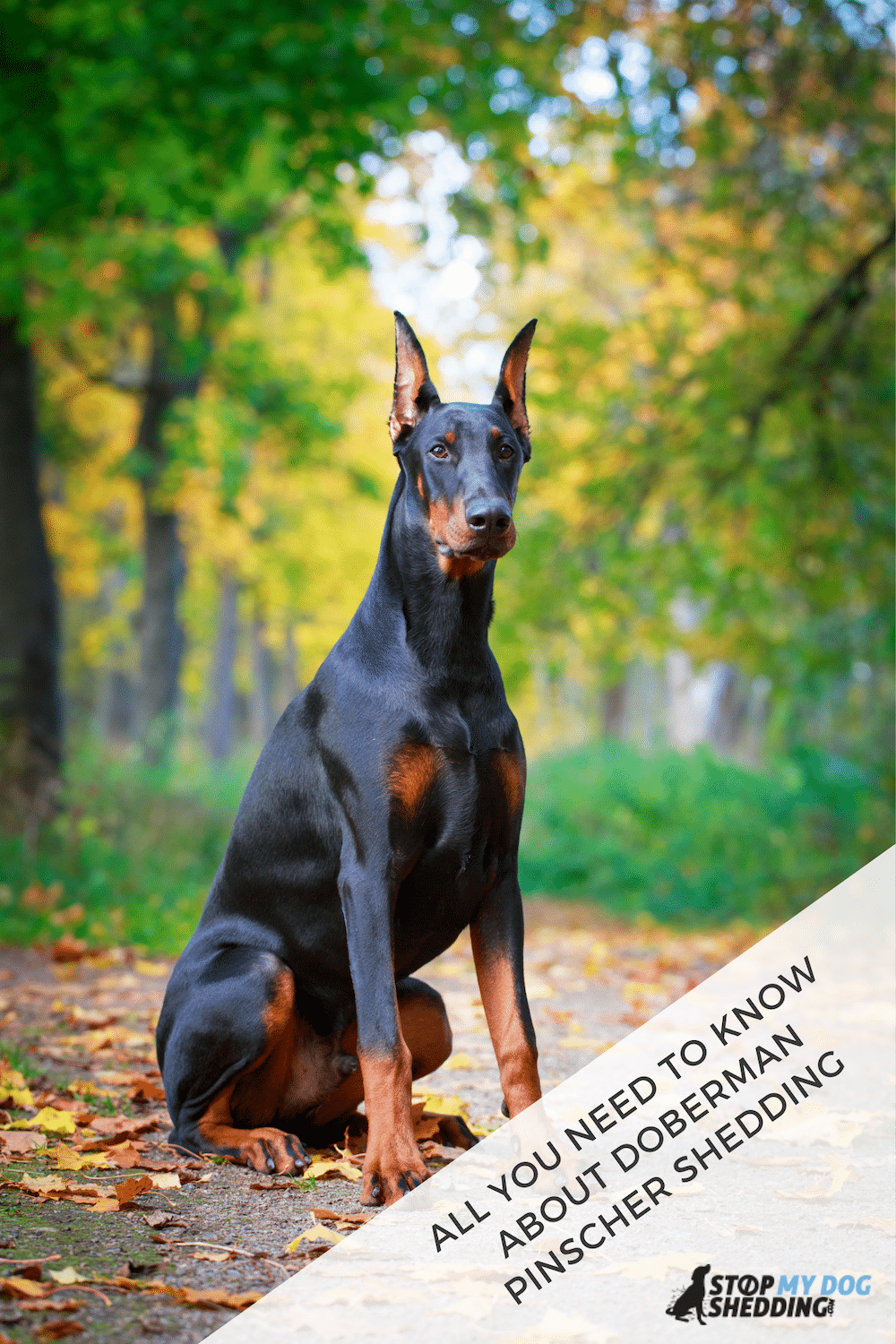 Do Doberman Pinschers Shed? Here's What You Need To Know
