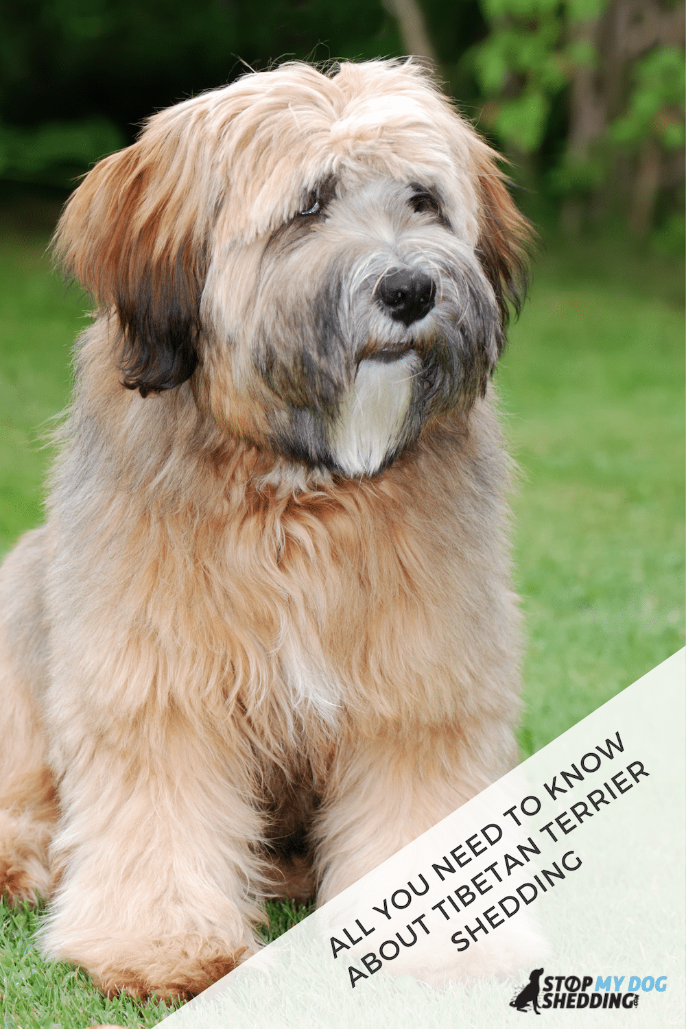 Do Tibetan Terriers Shed Lots of Hair? Let\'s Take a Look!