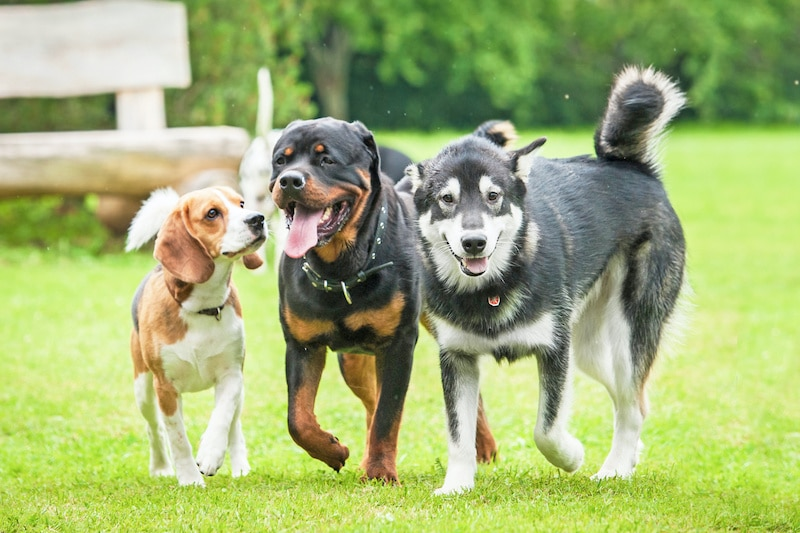 Three healthy, happy looking dogs walking in the yard together.