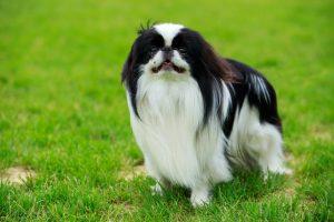 Japanese Chin dog portrait in green grass