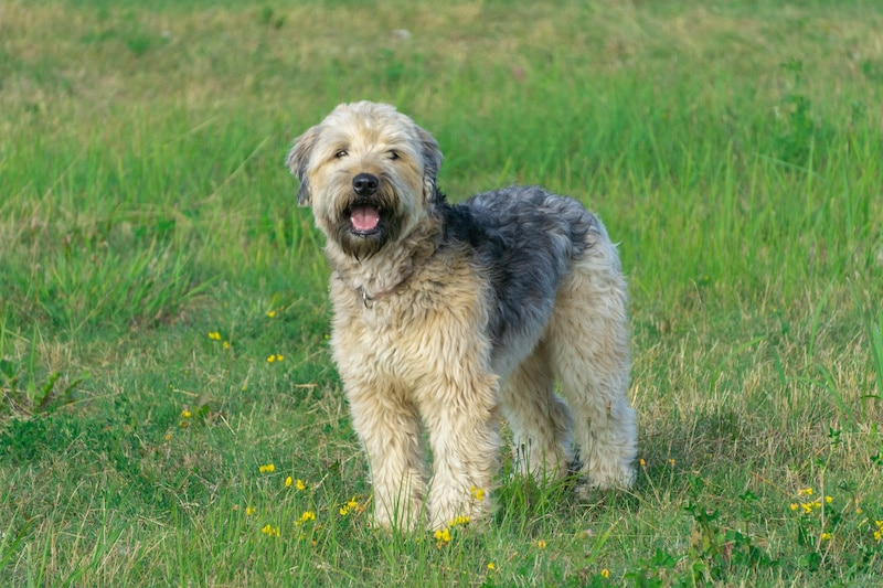 Soft-coated Wheaten Terrier standing and looking directly at camera in green grass with yellow flowers meadow.
