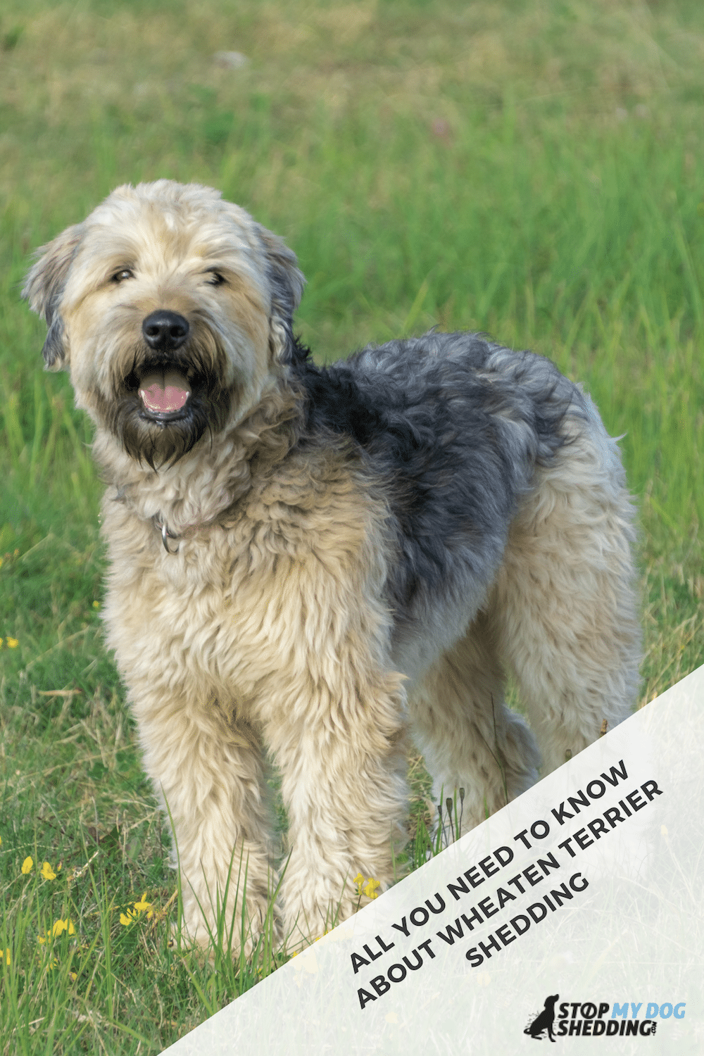 Do Soft Coated Wheaten Terriers Shed?
