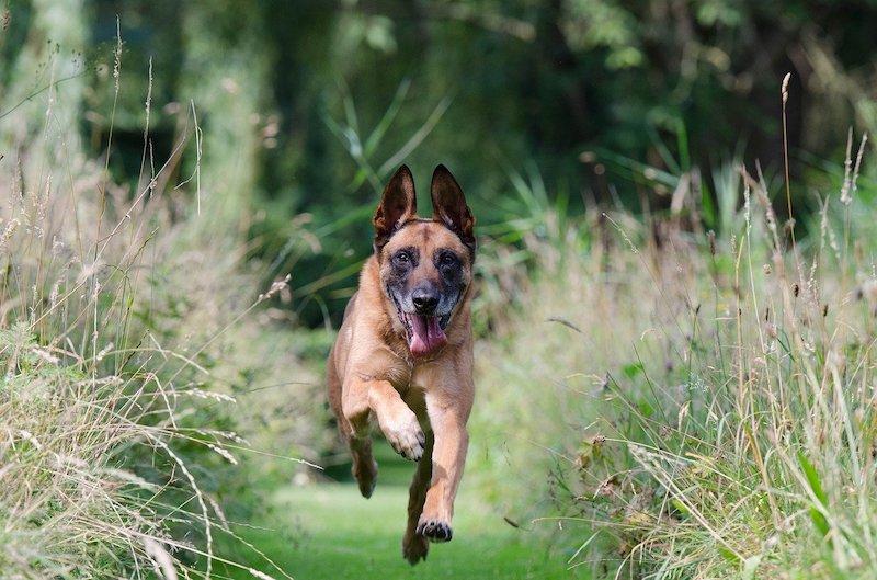 Malinoi Dog running on green grass.
