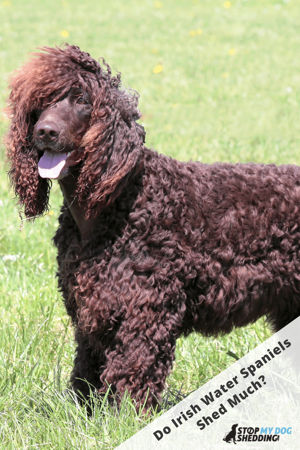 Irish Water Spaniel Shedding (All You Need to Know)