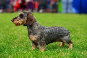 Wirehaired Dachshund stands on green grass at park.