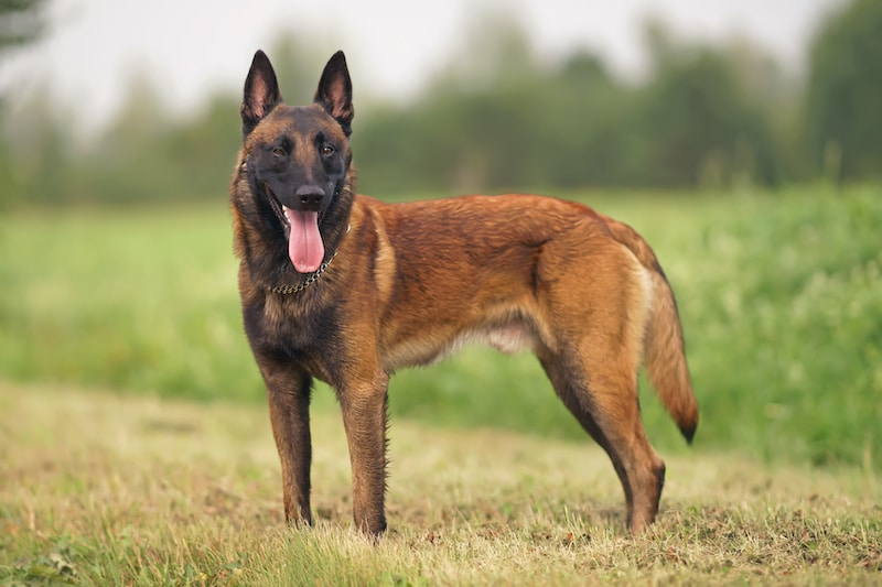 Happy young Belgian Malinoi dog with a chain collar staying outdoors on a green grass in summer.