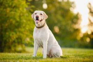 Happy purebred Labrador Retriever dog outdoors sitting on grass park sunny summer day.
