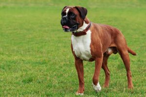 Boxer dog breed close-up on green grass.