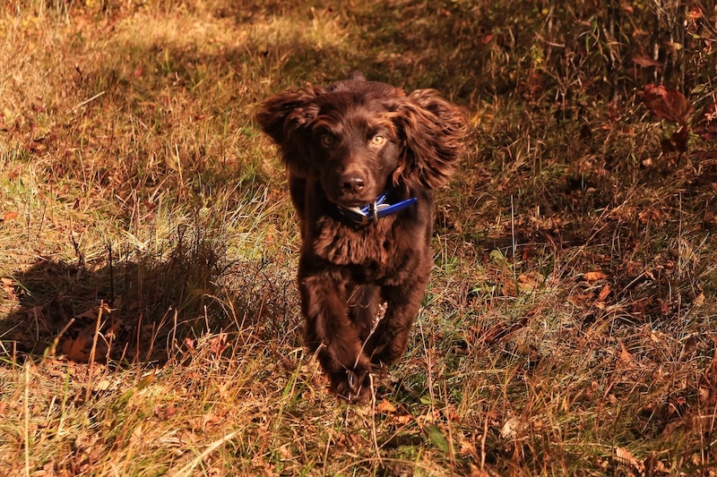 Brown Boykin Spaniel running on grass.
