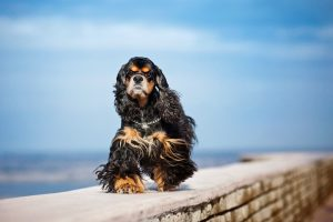Cocker Spaniel walks on elevated path with blue sky in background.