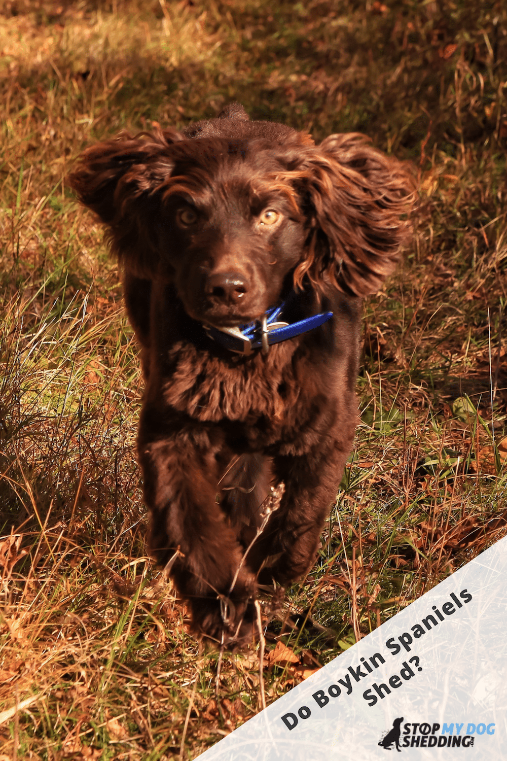 Boykin Spaniel Shedding (All You Need to Know)