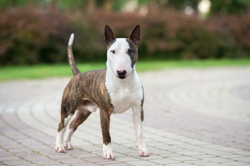 Beautiful Bull Terrier dog standing in the park.