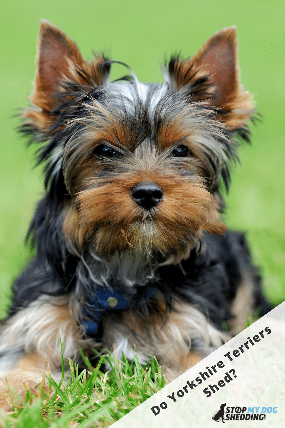 Do Yorkshire Terriers Shed? (What to Expect!)