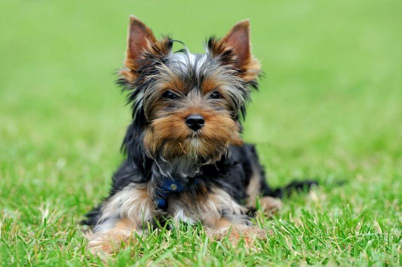 Close Yorkshire Terrier puppy dog in green summer grass.
