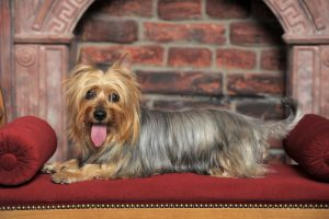 Silky Terrier dog laying on red dog bed with brick wall in background.