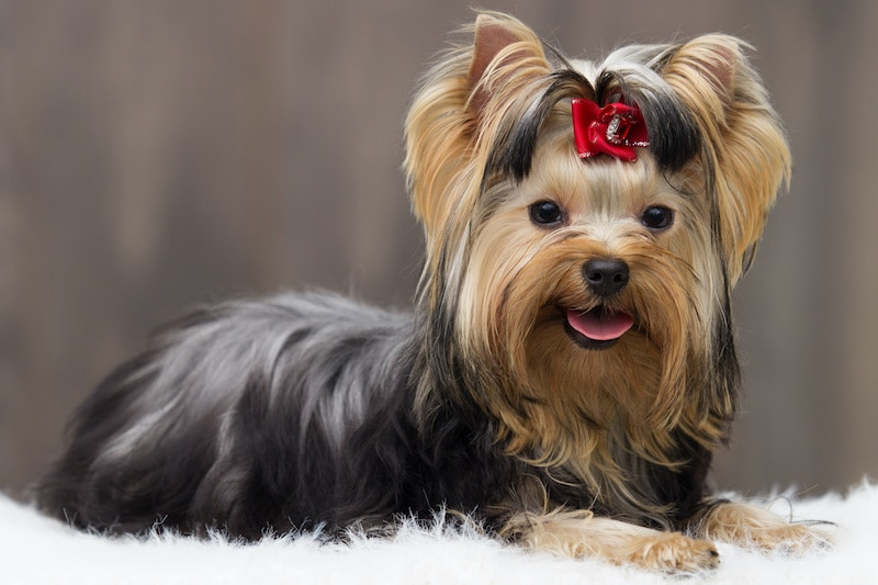 Yorkshire Terrier dog laying on white fluffy blanket with a wooden background.